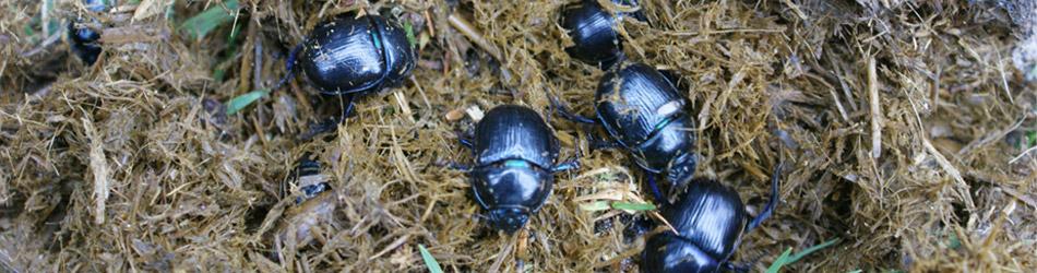afbeelding van mestkevers